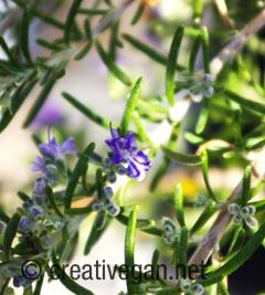 Flor del romero